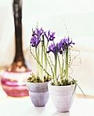 Two iris plants in pots