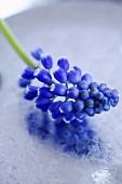 Eine Blüte der Traubenhyazinthe