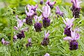 French lavender (Lavandula stoechas)