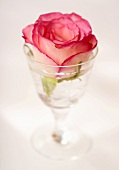 A rose in a glass of water