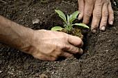 Salbei einpflanzen