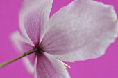 Clematis (back view)