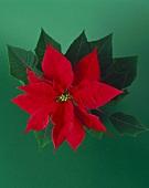 Ein roter Weihnachtsstern