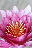 A pink water lily