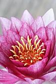 Eine rosa Seerosenblüte