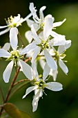 Flowers of the snowy mespilus (Amelanchier lamarckii)