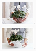 Wrapping a cyclamen pot in cellophane and felt
