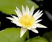 A white lotus flower