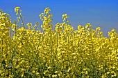 Flowering oilseed rape in the field