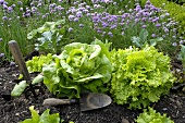 Various types of lettuce and herbs in garden