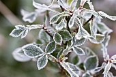 Rose leaves with hoar frost