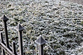Hoar frost on a bed of ivy and privet