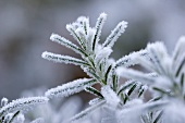 Sprig of rosemary with hoar frost