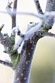 Ast eines Zierapfelbaumes im Winter