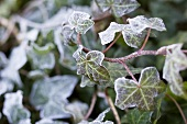 Ivy covered in hoar frost