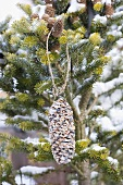 Fir cone coated in palm fat and bird food