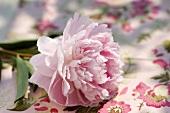 Eine rosafarbene Pfingstrosenblüte