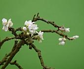 Zweig mit Apfelblüten vor grünem Hintergrund