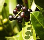 Cherry laurel sprig (close up)