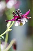 Akelei im Garten (Nahaufnahme)