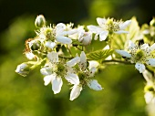 A sprig of blackberry flowers (close up)