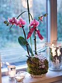 A Christmas orchid