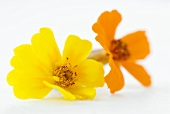 Two tagetes flowers