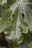 Wet fig leaves