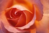 Apricot coloured rose (close-up)