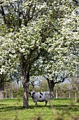 A cow under a blooming fruit tree in Normandy (France)