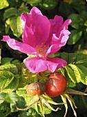 A flowering rosehip