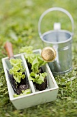 Lettuce plants and a watering can in a garden