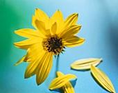 Narrow-leaved sunflower (Helianthus angustifolius)