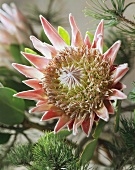 Christmas arrangement of protea and pine