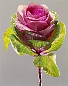 An ornamental cabbage