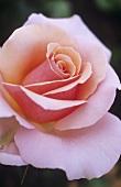 Edelrose 'Sweet Lady'