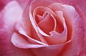 Rose 'Silver Jubilee'