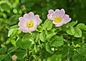 Two wild roses