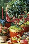 Potted coffee bush used as ornamental plant