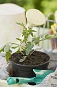 Planting a tomato plant