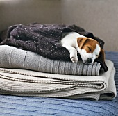 Sleeping dog wrapped in jumper