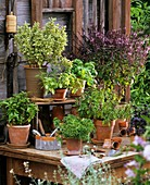 Various varieties of basil in pots on a wooden table