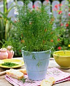 Dill in flowerpot