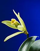 A vanilla flower