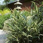 Bamboo (Pleioblastus)