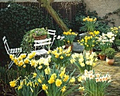Spring garden with flowering narcissi