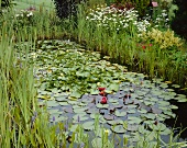 Garden pond with aquatic plants