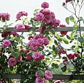 Rosafarbene Kletterrose