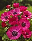 Pinkfarbene Anemone (lat. Anemone coronaria Sylphide)