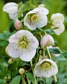 Lenten rose (Helleborus orientalis hybrids)